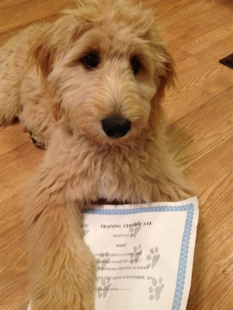 puppies syracuse ny goldendoodle breeders in syracuse ny breeds picture