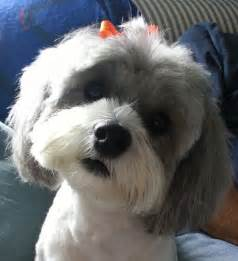 haircuts for shih poo dogs haircuts for shih poos apexwallpapers com