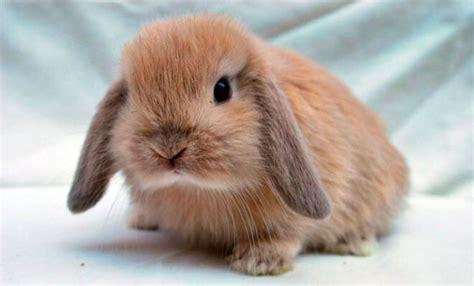 alimentazione conigli nani coniglio ariete nano carattere e caratteristiche dei