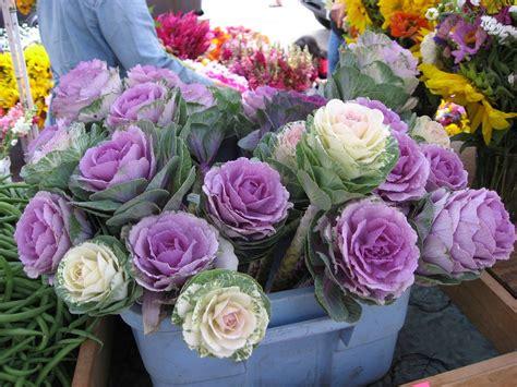 cabbage ornamental mix ornamental cabbage cutflower kale mix brassica oleracea