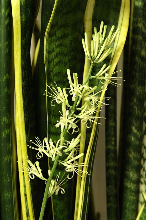 sansevieria trifasciata sansevieria trifasciata wikiwand