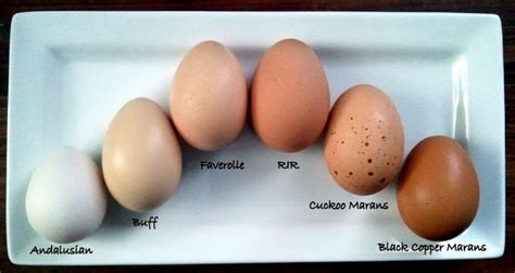 barred rock egg color a rainbow of egg colors what breed of chicken lays which