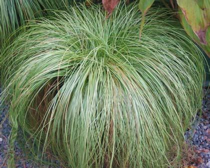 carex frosted curls grasses shop