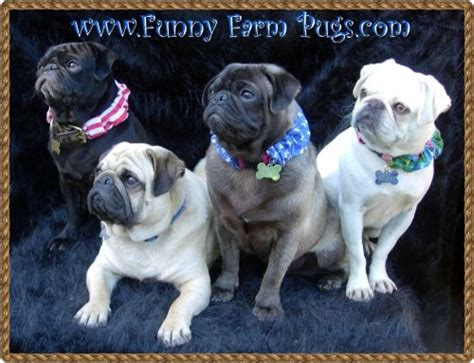 pug colors and markings pug website and colors on