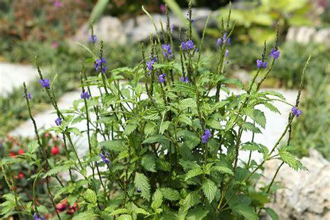 grow  care blue porter weed stachytarpheta
