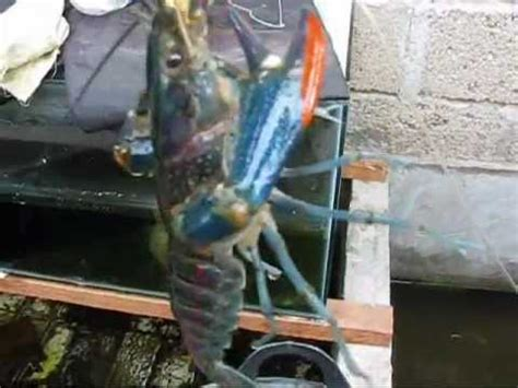 indukan lobster air tawar 0001