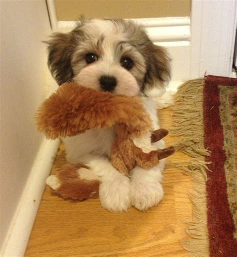 how big havanese dogs get 25 best ideas about havanese puppies on puppy breeds cockapoo