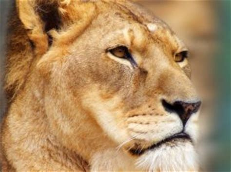imagenes leones tristes menina triste do le 227 o baixar fotos gratuitas