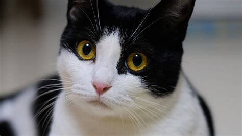 White Cat With Yellow Eyes Pictures to Pin on Pinterest