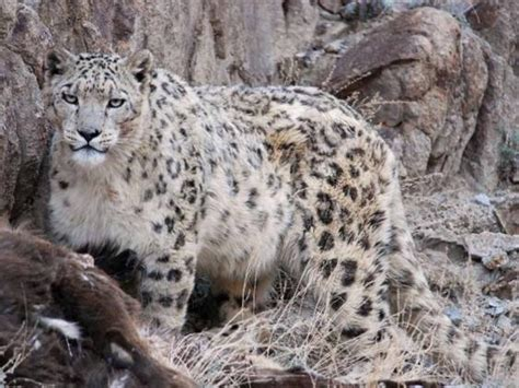karma big stories of small cats who change our lives books india s himalaya tracking the elusive snow leopard