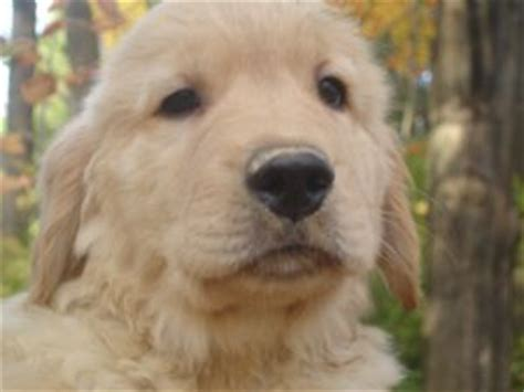 golden retriever breeders upstate ny golden retriever puppies in new york