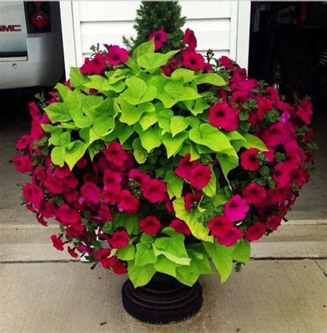 25 best ideas about petunia plant on pinterest petunia flower outdoor pots and planters and