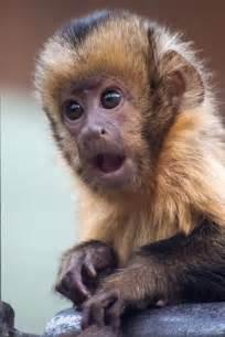capuchin monkey by germ wind puppy love pinterest