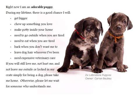 labradane puppies for sale el diyuk labradanes pups for sale