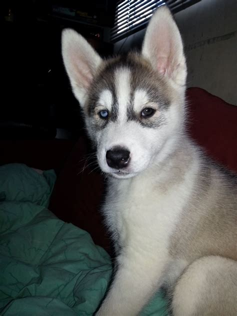 husky dogs for sale husky puppies for sale enfield middlesex pets4homes