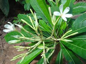 Images Of Plants Himatanthus Sucuuba Images Useful Tropical Plants