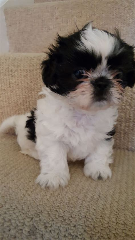shih tzu puppies for sale stoke on trent shih tzu puppy for sale stoke on trent staffordshire pets4homes