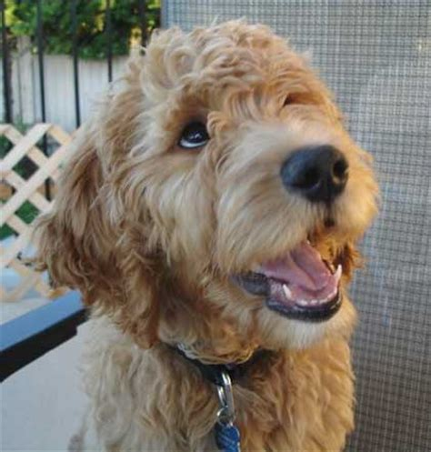 goldendoodle puppy cut labradoodle cut breeds picture