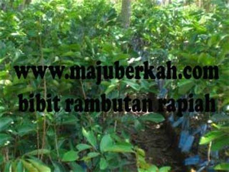 Jual Bibit Pohon Rambutan Rapiah bibit rambutan rapiah bibit tanaman rambutan rapiah jual