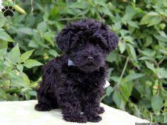 brown yorkie poo puppies for sale yorkie poo