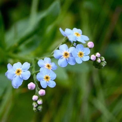 non ti scordar di me fiori non ti scordar di me linguaggio dei fiori non ti