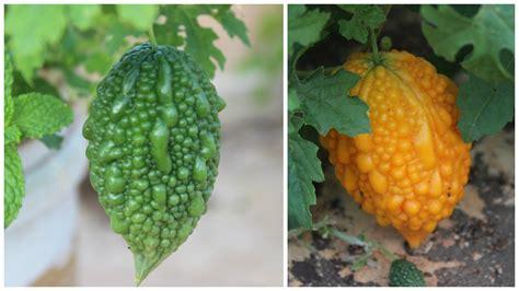 fruit similar to identification identify fruit from climbing plant