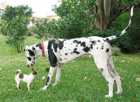 gran danes puppy gran danes breeds picture