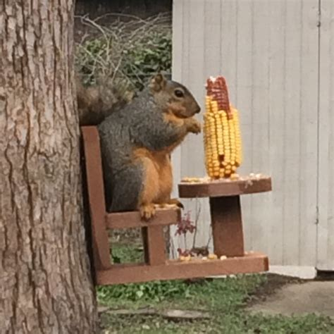 Chair Squirrel Feeder by Table And Chair Squirrel Feeder For Corn Cobs The