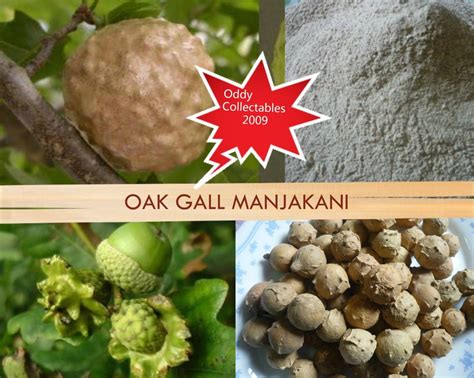 Manjaanquercus Infectoria Oak Galls Mecca Manjakani oak gall deals on 1001 blocks