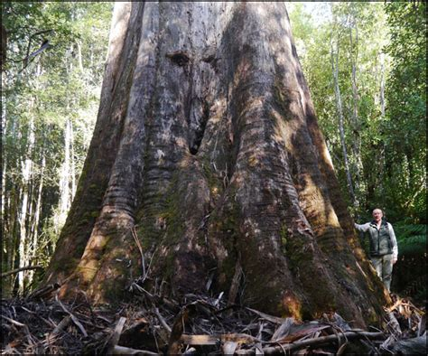 australia s largest trees big tree giant trees
