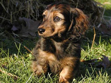 golden retriever crowthorne miniature haired dachshund illinois dogs in our photo