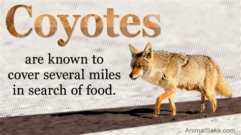 wile e coyote facts facts about coyote prairie wolf
