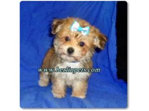 yorkie poo puppies for sale australia poodle puppies for sale yorkie poos