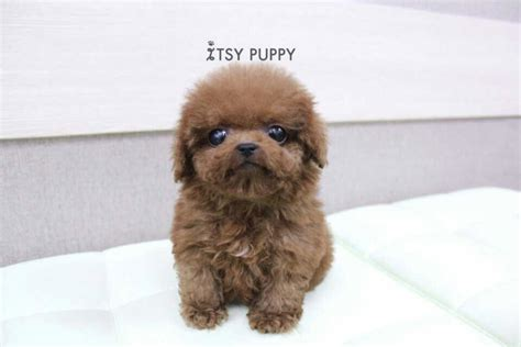micro poodle puppy sold rocky micro poodle itsy puppy teacup