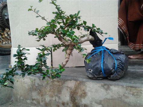 Bakalan Bonsai Asam jenis jenis asal bibit untuk bakalan bonsai