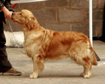 stormerick golden retrievers avelshundar kennel ringmaster
