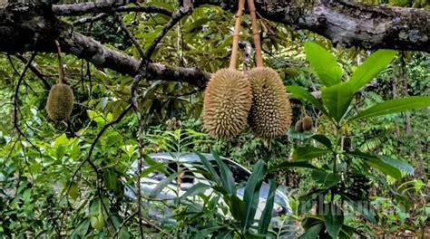 durian lamsujen foto   tribunnewscom