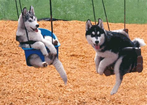 dog in baby swing funny cute baby husky puppies