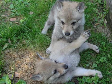 alimentazione lupo cecoslovacco vendita cuccioli razza lupo cecoslovacco annunci
