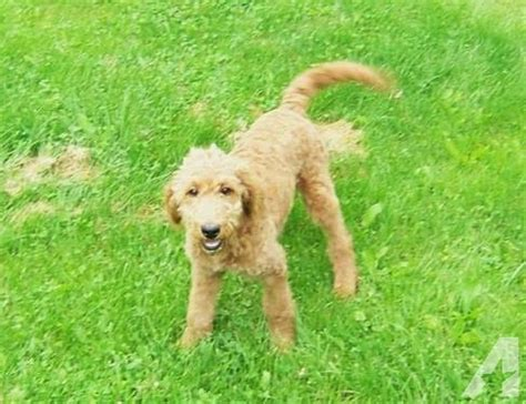 goldendoodles puppies for sale pittsburgh f1 and f1b mini goldendoodles for sale in pittsburgh