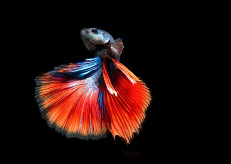 apple wallpaper betta fish betta siamese fighting fish underwater tropical