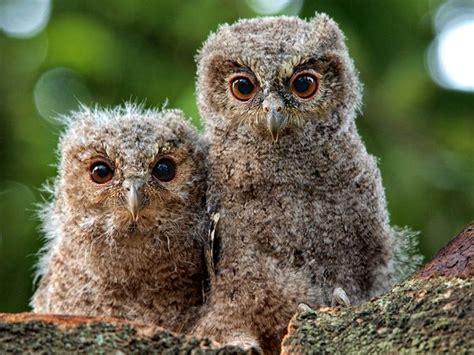 owl babies natalie s inspiration owls