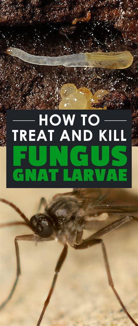 how to kill gnats in the house how to treat and kill fungus gnat larvae
