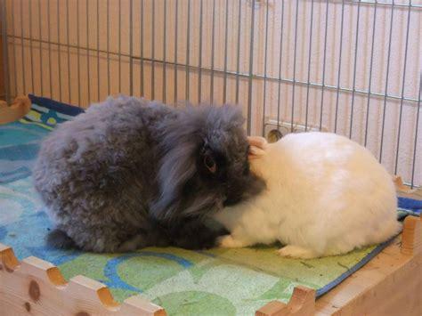 meerschweinchen und kaninchen in einem stall haltung kaninchen und meerschweinchen tierheim bad