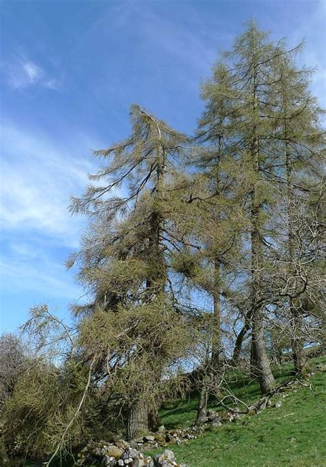 european larch facts growth rates lifespan pictures