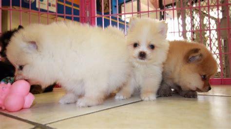pomeranian puppies for sale in atlanta ga gorgeous pomeranian puppies for sale local breeders near atlanta ga at