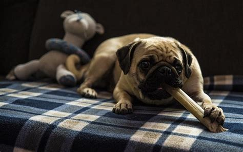 are pugs hypoallergenic pug dogs and puppies breed journal