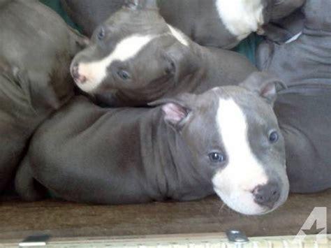 blue american bulldog puppies american bulldog pitbull mix puppies m5x eu