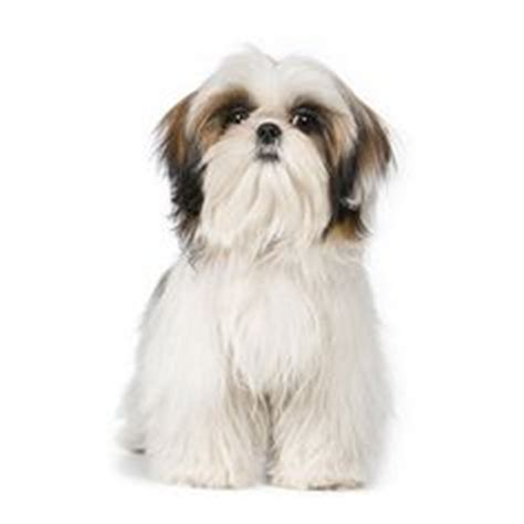 shih tzu iq 1000 images about chiens on american eskimo airedale terrier and animaux