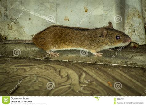 house mice house mouse stock photo image 69857378